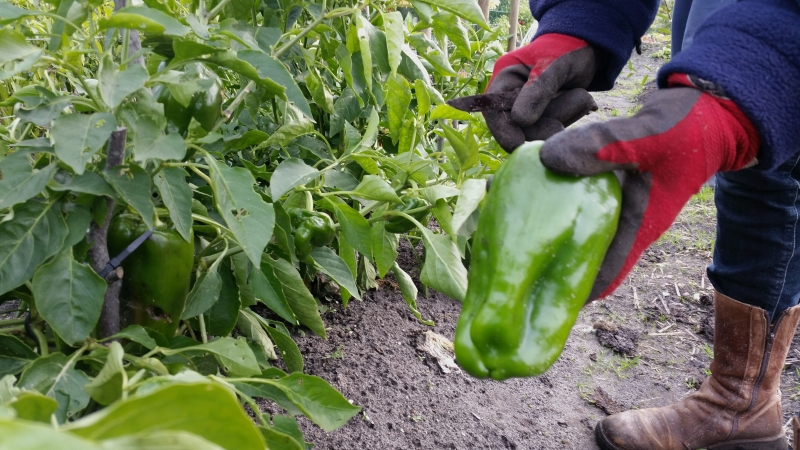 Groene paprika's. Tuin 65 66.