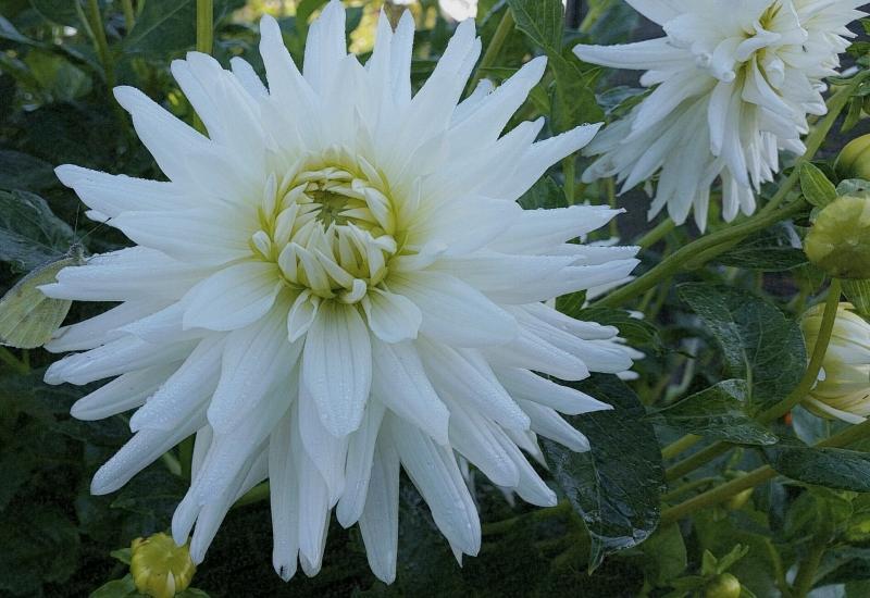 Herfstkleur: witte dahlia