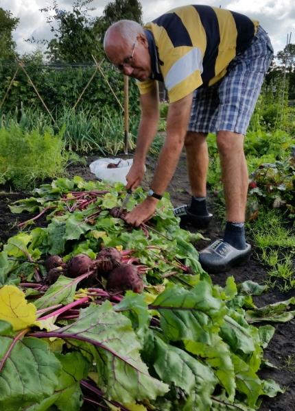 Tuin 126. Flinke oogst rode biet.