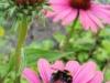 Tuin 78/79. Prachtige bloementuin vol bijen.