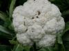 Tuin 17: allerlei soorten kool op de tuin. Bloemkool.