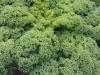 Tuin 17: allerlei soorten kool op de tuin. Boerenkool.