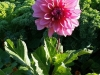 Herfstkleur: roze dahlia