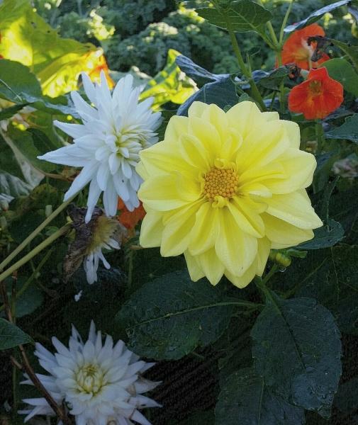 herfstkleur: gele dahlia