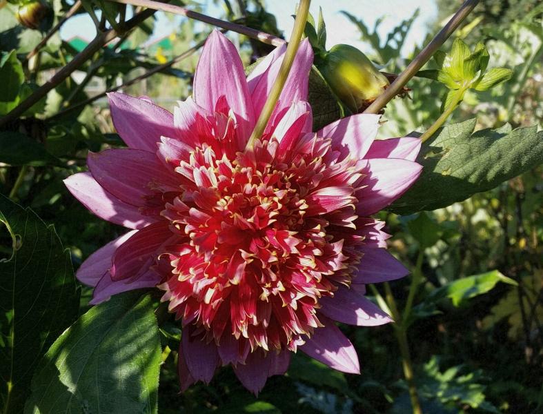 herfstkleur: dahlia met gevuld hart