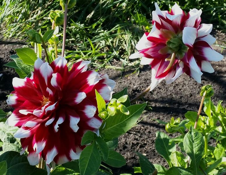 Herfstkleur: rood met witte punten dahlia