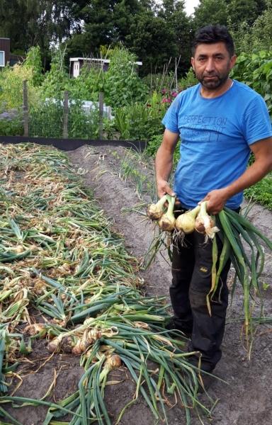 Juli 2019. Mooie oogsten op de volkstuin. Zoals hier een enorme hoeveelheid dikke uien.