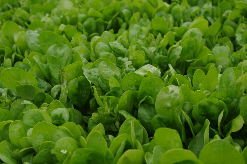 Een zee van spinazie