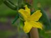 De bloem van de komkommerplant