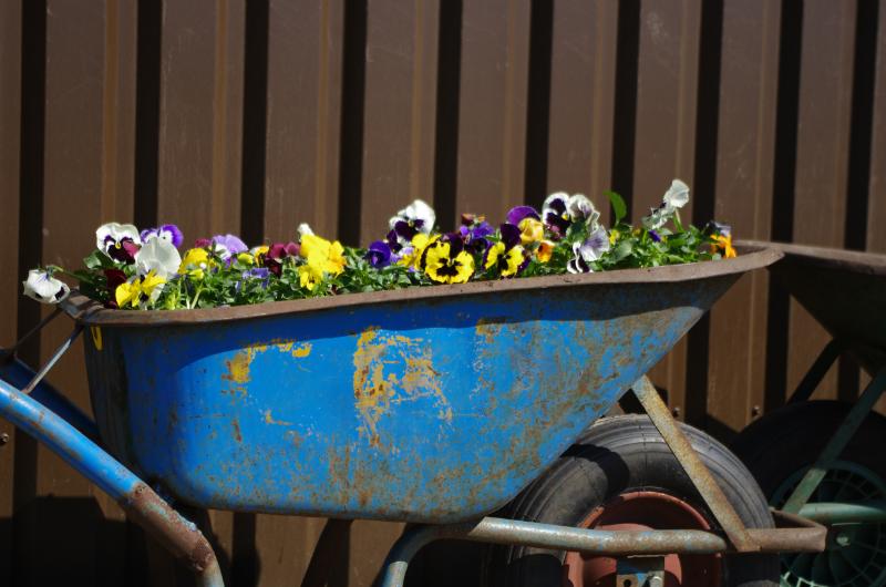 Er staat een kruiwagen vol mooie violen bij het verenigingsgebouw